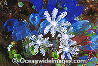 Soft Coral Polyps Photo - Gary Bell