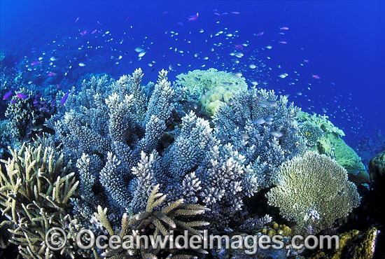 Acropora Corals (Acropora sp.), Basslets and Damselfish. Great Barrier Reef, Queensland, Australia Photo - Gary Bell
