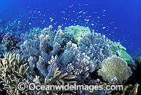 Corals Basslets Damselfish photo