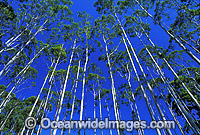 Flooded gum eucalypt forest photo