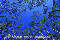 Flooded gum eucalypt forest