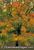 Autumn colours Pistacia chinensis tree photo