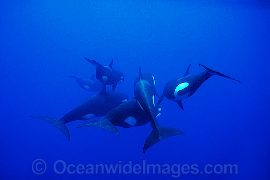Orcas or Killer Whales (Orcinus orca). Indo-Pacific. Classified Lower Risk on the IUCN Red List.
