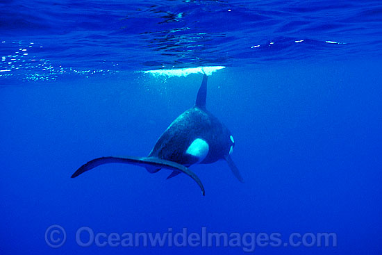 Orca or Killer Whales (Orcinus orca). Indo-Pacific. Classified Lower Risk on the IUCN Red List.
