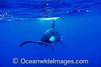Orca tail underwater photo