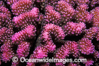 Pocillopora Coral Pocillopora meandrina photo
