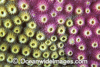 Acroporid Coral Astreopora myriophthalma Photo - Gary Bell