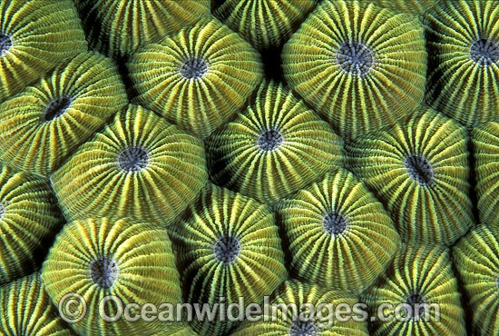 Faviid Coral (Diploastrea heliopora) detail. Great Barrier Reef, Queensland, Australia