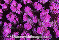 Acropora Coral Acropora sp. Photo - Gary Bell