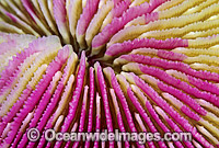 Mushroom Coral Great Barrier Reef Photo - Gary Bell