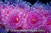 Colony of Jewel Anemones Photo - Gary Bell