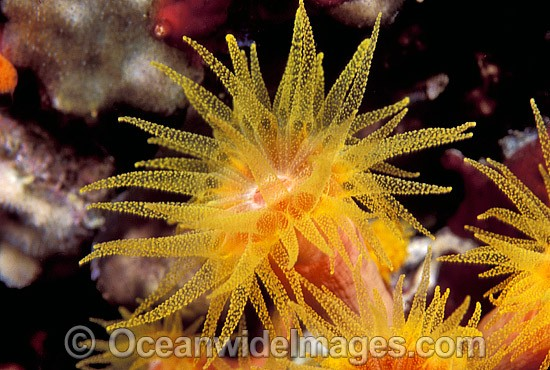 Sunshine Coral (Tubastraea sp.). Great Barrier Reef, Queensland, Australia - Gary Bell
