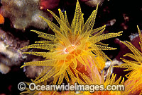 Sunshine Coral Tubastraea Photo - Gary Bell