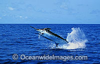Blue Marlin breaching Photo - John Ashley