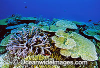 Great Barrier Reef Porites Coral Photo - Gary Bell