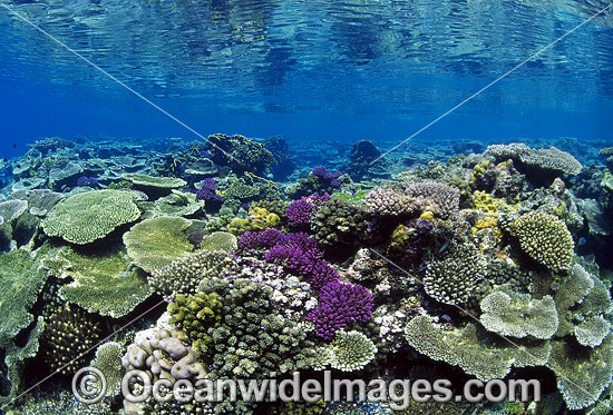 Acropora Corals on coral reef. Great Barrier Reef, Queensland, Australia Photo - Gary Bell