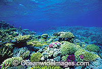 Acropora Corals Great Barrier Reef photo