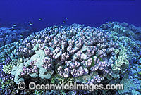 Acropora Corals Great Barrier Reef Photo - Gary Bell