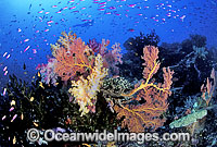 Fan Coral and Soft Coral Photo - Gary Bell