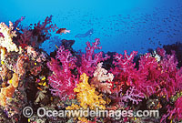 Scuba Diver on Soft Coral reef photo