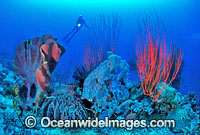 Scuba Diver Coral reef Photo - Gary Bell