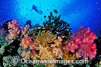 Scuba Diver and Soft Coral Garden Photo - Gary Bell