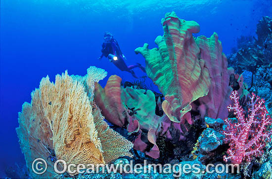 Scuba Diver exploring Gorgonian Fan Coral, Elephant Ear Sponge and Soft Coral reef. Indo-Pacific