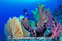 Scuba Diver and Soft Coral Garden photo