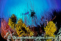 Scuba Diver and Whip Corals Photo - Gary Bell