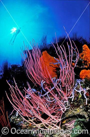Scuba Diver exploring Whip Coral and Sponge reef. Indo-Pacific