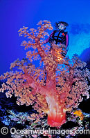 Scuba Diver and Soft Coral Photo - Gary Bell