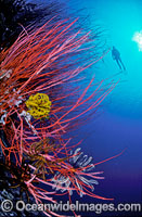 Scuba Diver with Whip Corals and Feather Stars Photo - Gary Bell