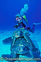 Scuba Diver and mating Green Turtles Photo - Gary Bell