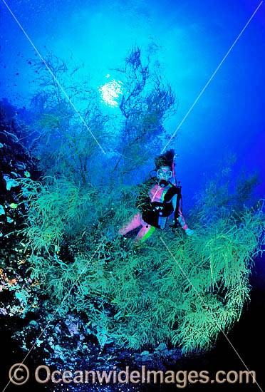 Scuba Diver exploring huge Black Coral Tree. Indo-Pacific Photo - Gary Bell