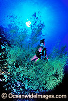 Scuba Diver and Black Coral Tree Photo - Gary Bell