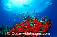 Scuba Diver exploring Soft Coral reef Photo - Gary Bell