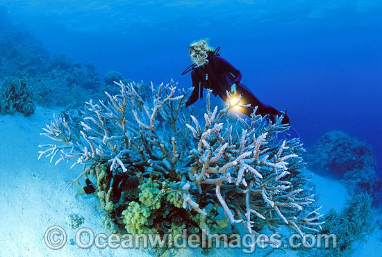 Scuba Diver exploring Staghorn Coral (Acropora formosa) reef. Great Barrier Reef, Queensland, Australia