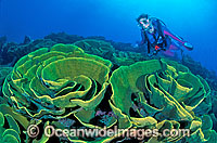 Scuba Diver and Cabbage Coral reef Photo - Gary Bell