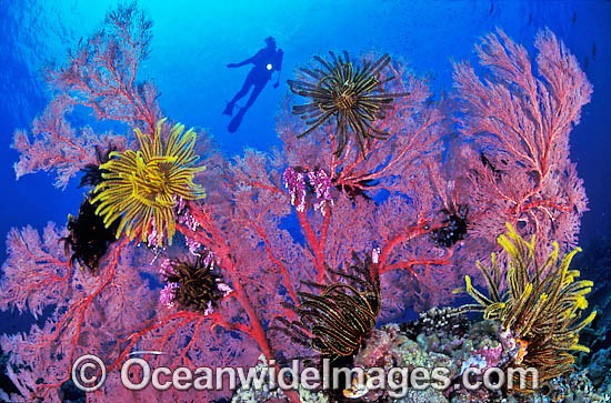 Scuba Diver exploring Gorgonian Fan Coral, decorated in Crinoid Feather Stars. Indo-Pacific Photo - Gary Bell