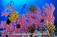 Scuba Diver and Gorgonian Fan Coral Photo - Gary Bell