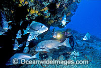 Scuba Diver and Painted Sweetlips Photo - Gary Bell