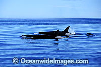 Orcas on surface Photo - Lin Sutherland
