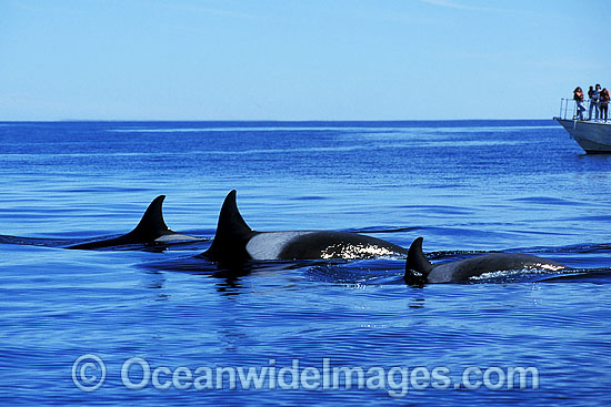 Orcas or Killer Whales (Orcinus orca). Also known as a Killer Whale.Located in the Indo-Pacific. Classified Lower Risk on the IUCN Red List. Photo - Lin Sutherland