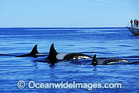 Killer Whale Orcinus orca Photo - Lin Sutherland