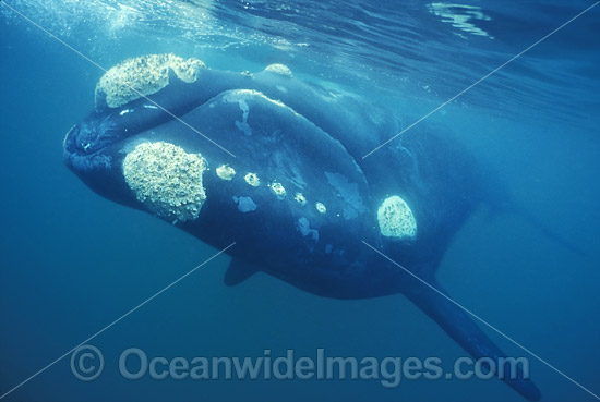Southern Right Whale (Eubalaena australis). Located in Southern Australia. Classified Vulnerable on the IUCN Red List.