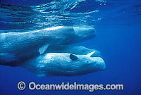 Pod of Sperm Whales image
