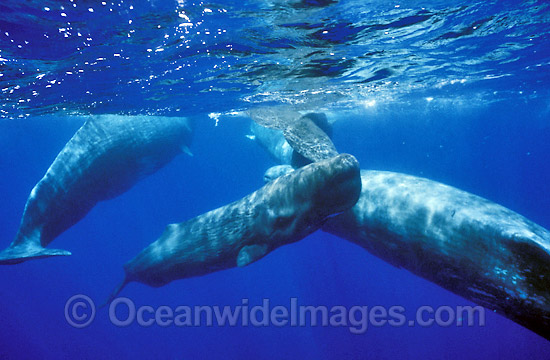 Pod of Sperm Whales (Physeter macrocephalus). Indo-Pacific. Classified as Vulnerable on the IUCN Red List.
