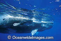 Sperm Whale Mother with newborn calf photo