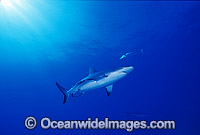 Gray Reef Shark Carcharhinus amblyrhynchos Photo - Lin Sutherland