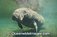 Florida Manatee Trichechus manatus latirostris Photo - Lin Sutherland